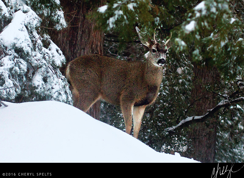 Male Deer // Photo: Cheryl Spelts