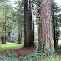 Trinidad State Beach Forest