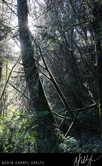 The forest near Trinidad State Beach.